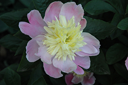 Butter Bowl Peony (Paeonia 'Butter Bowl') at Plants Unlimited