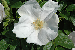 White Rugosa Rose (Rosa rugosa 'Alba') at Plants Unlimited