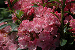 Tiddlywinks Mountain Laurel (Kalmia latifolia 'Tiddlywinks') at Plants Unlimited
