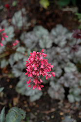 Rave On Coral Bells (Heuchera 'Rave On') at Plants Unlimited