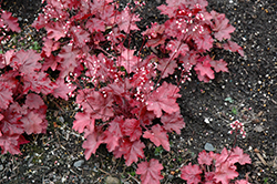 Fire Chief Coral Bells (Heuchera 'Fire Chief') at Plants Unlimited