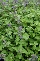Limelight Catmint (Nepeta x faassenii 'Limelight') at Plants Unlimited