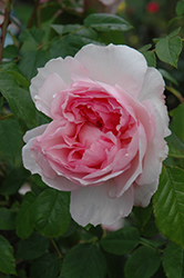 The Wedgwood Rose (Rosa 'Ausjosiah') at Plants Unlimited