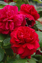 Tess Of The D'Urbervilles Rose (Rosa 'Tess Of The D'Urbervilles') at Plants Unlimited