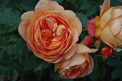 Lady Of Shalott Rose (Rosa 'Ausnyson') at Plants Unlimited