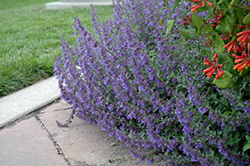 Six Hills Giant Catmint (Nepeta x faassenii 'Six Hills Giant') at Plants Unlimited