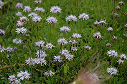 Heart-leaved Globe Daisy (Globularia cordifolia) at Plants Unlimited