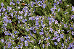 Blue Woolly Speedwell (Veronica pectinata) at Plants Unlimited