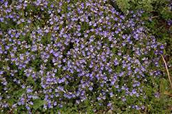 Turkish Speedwell (Veronica liwanensis) at Plants Unlimited