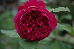 Falstaff Rose (Rosa 'Ausverse') at Plants Unlimited