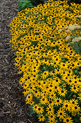 Little Goldstar Coneflower (Rudbeckia fulgida 'Little Goldstar') at Plants Unlimited