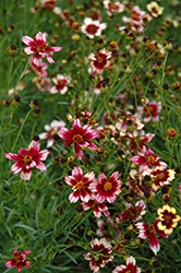 Berry Chiffon Tickseed (Coreopsis 'Berry Chiffon') at Plants Unlimited