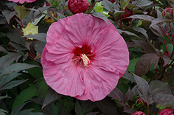 Berry Awesome Hibiscus (Hibiscus 'Berry Awesome') at Plants Unlimited