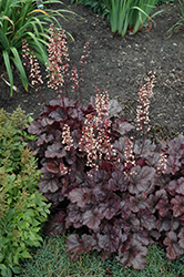 Grape Expectations Coral Bells (Heuchera 'Grape Expectations') at Plants Unlimited