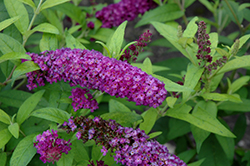 Crown Jewels Butterfly Bush (Buddleia 'Crown Jewels') at Plants Unlimited