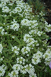 Frosty Knight Alyssum (Lobularia 'Frosty Knight') at Plants Unlimited