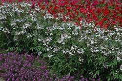 Senorita Blanca Spiderflower (Cleome 'Senorita Blanca') at Plants Unlimited