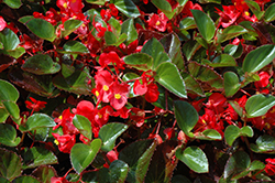 Big® Red Green Leaf Begonia (Begonia 'Big Red Green Leaf') at Plants Unlimited