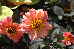 Dahlightful® Georgia Peach Dahlia (Dahlia 'G13518') at Plants Unlimited
