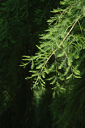 Falling Waters Baldcypress (Taxodium distichum 'Falling Waters') at Plants Unlimited