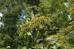 Michael Dodge Viburnum (Viburnum dilatatum 'Michael Dodge') at Plants Unlimited