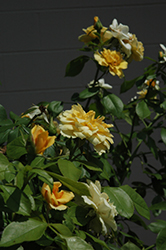Tequila Gold Rose (Rosa 'Meipojona') at Plants Unlimited