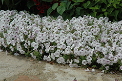 Easy Wave Silver Petunia (Petunia 'Easy Wave Silver') at Plants Unlimited