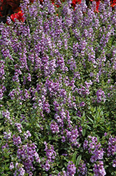 Serenita Sky Blue Angelonia (Angelonia angustifolia 'Serenita Sky Blue') at Plants Unlimited