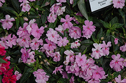 Bounce™ Lilac Impatiens (Impatiens 'Bounce Lilac') at Plants Unlimited