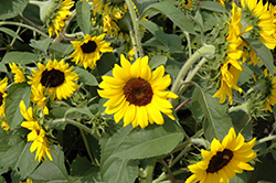 Ballad Annual Sunflower (Helianthus annuus 'Ballad') at Plants Unlimited