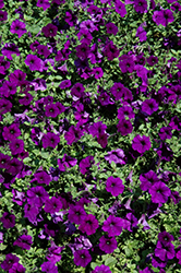 Easy Wave Blue Petunia (Petunia 'Easy Wave Blue') at Plants Unlimited