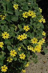 Lemon Star Black-Eyed Susan (Thunbergia alata 'Lemon Star') at Plants Unlimited