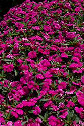 Bounce™ Violet Impatiens (Impatiens 'Balbouvio') at Plants Unlimited