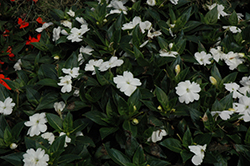 SunPatiens® Spreading Clear White New Guinea Impatiens (Impatiens 'SunPatiens Spreading Clear White') at Plants Unlimited