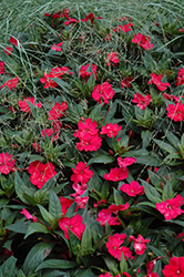 SunPatiens® Spreading Carmine Red New Guinea Impatiens (Impatiens 'SunPatiens Spreading Carmine Red') at Plants Unlimited