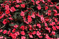 SunPatiens® Compact Deep Rose New Guinea Impatiens (Impatiens 'SunPatiens Compact Deep Rose') at Plants Unlimited