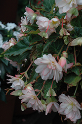 Miss Montreal Begonia (Begonia 'Miss Montreal') at Plants Unlimited