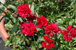 Dynasty Red Pinks (Dianthus 'Dynasty Red') at Plants Unlimited