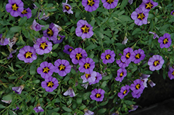 Superbells® Evening Star Calibrachoa (Calibrachoa 'Superbells Evening Star') at Plants Unlimited