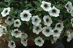 Supertunia® Latte Petunia (Petunia 'Supertunia Latte') at Plants Unlimited