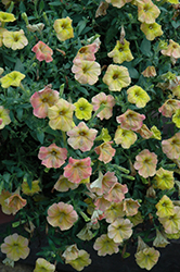 Supertunia® Honey Petunia (Petunia 'Supertunia Honey') at Plants Unlimited