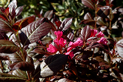 Minor Black Weigela (Weigela florida 'Minor Black') at Plants Unlimited