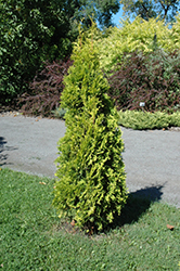 Amber Gold Arborvitae (Thuja occidentalis 'Amber Gold') at Plants Unlimited