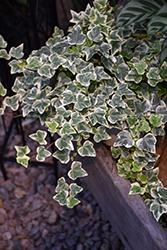 Glacier Ivy (Hedera helix 'Glacier') at Plants Unlimited