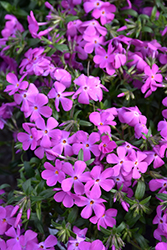 Paparazzi® Britney Phlox (Phlox 'PPPHL0604') at Plants Unlimited