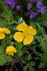 Celandine Poppy (Stylophorum diphyllum) at Plants Unlimited
