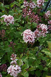Bloomerang® Pink Perfume Lilac (Syringa 'Pink Perfume') at Plants Unlimited