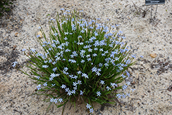 Narrowleaf Blue-Eyed Grass (Sisyrinchium angustifolium) at Plants Unlimited