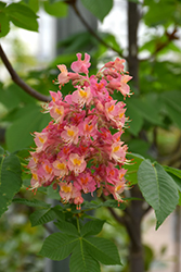 Fort McNair Red Horse Chestnut (Aesculus x carnea 'Fort McNair') at Plants Unlimited