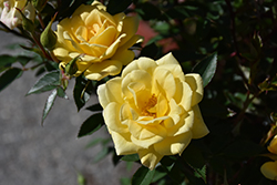 Yellow Sunblaze® Rose (Rosa 'Meiskaille') at Plants Unlimited